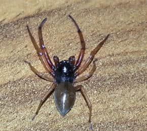 Male Broad Face Sac Spider