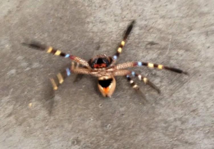 Badge Huntsman spider colorful orange bands black