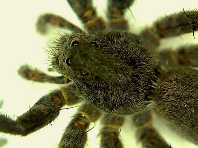 Wolf Spider eyes face closeup from above