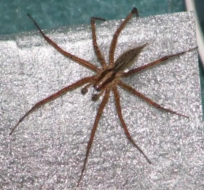 grass spider agelenidae