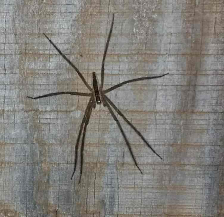 Male Nursey Web Spider