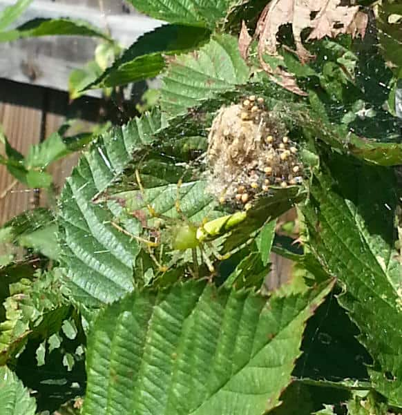 Green Lynx Spider with spiderlings