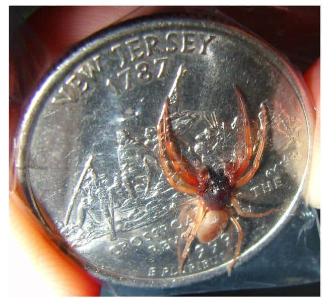 Broad Face Sac Spider trachelas transquilus size comparison coin