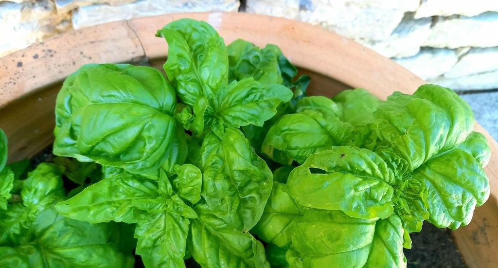 basilico verde coltivato in vaso