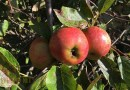 Fruitpersdag in Spijk