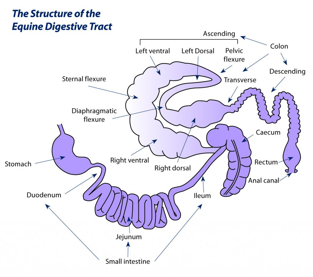 Why Understanding Your Horse S Digestive System Is So