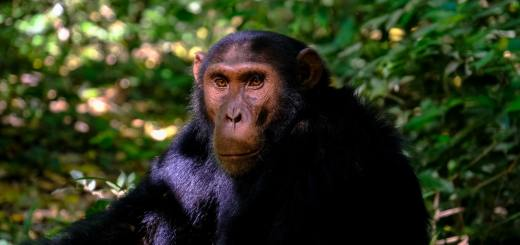 5 chimps theory