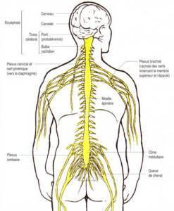 Système nerveux Réalignement Vertébral Spin'Dynamic O'dru