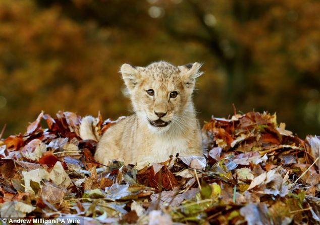 Lion Cub Karis playing in leaves at Blair Drummond Safari Park (6)