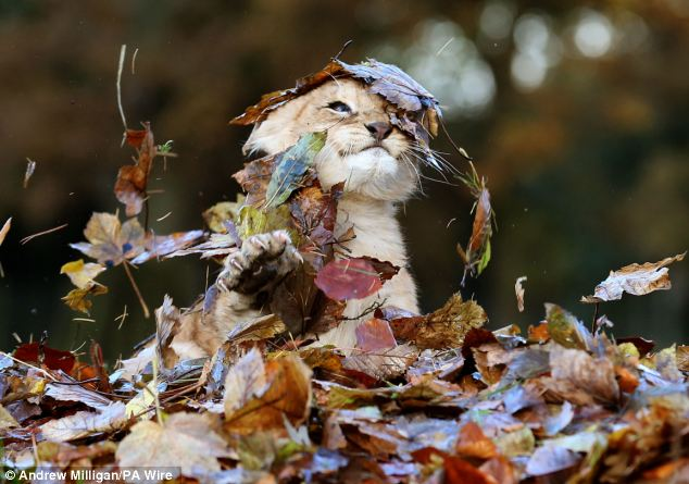 Lion Cub Karis playing in leaves at Blair Drummond Safari Park (2)