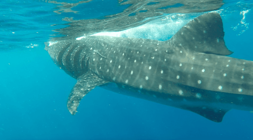 ethically swimming with whale shark