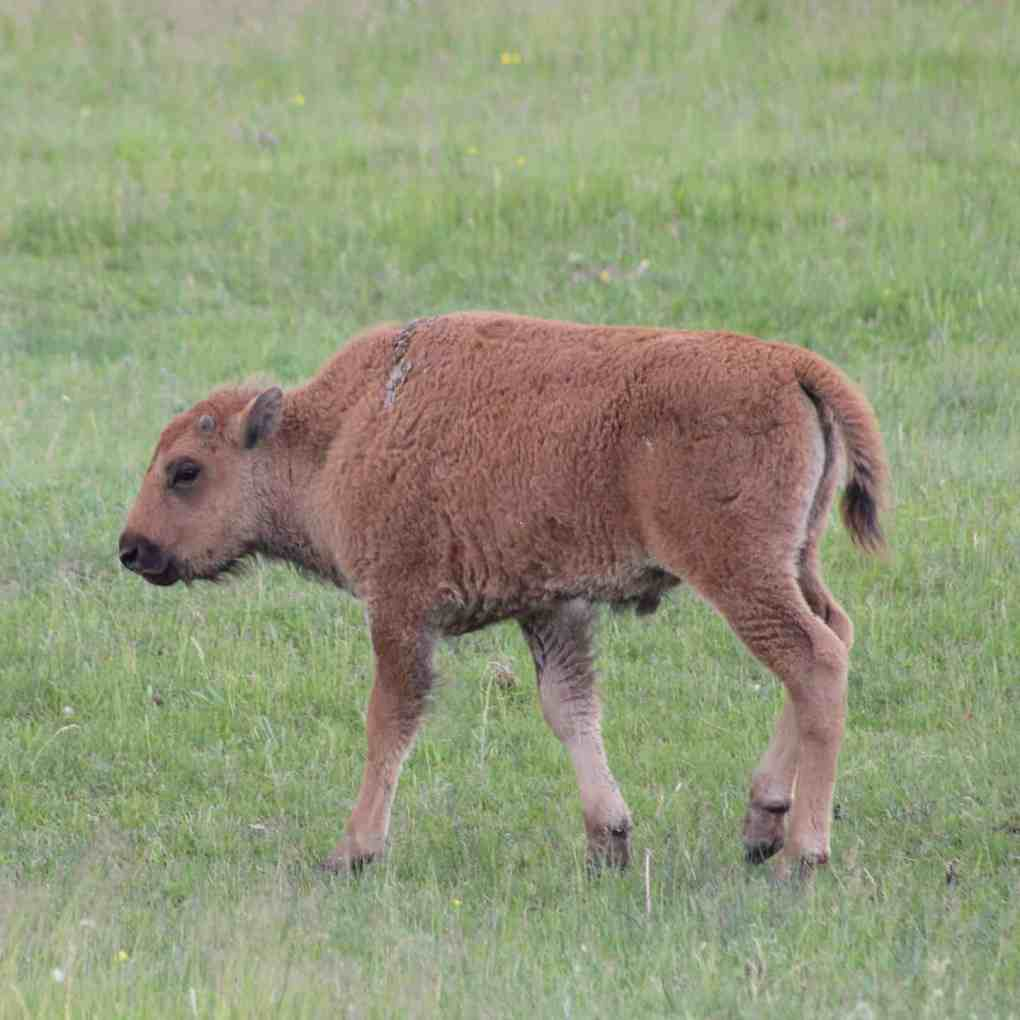 baby bison in grand teton national park