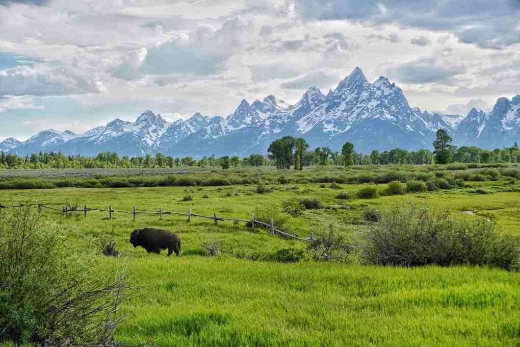 bison grazing in front of grand teton mountain range