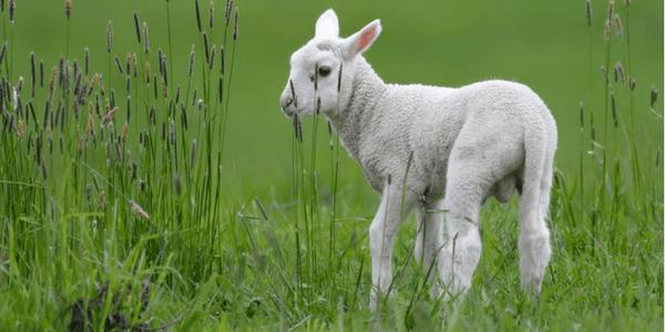 Lamb by Mike Streicher (flickr mikestreicher)