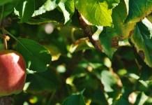Apple in a tree, photo by Daniel R. Blume
