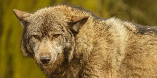 European wolf, photo by Richard Clark