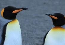 King Penguins, photo by Liam Quinn