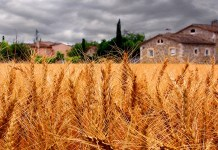 Wheat harvest, photo by Bernat Casero