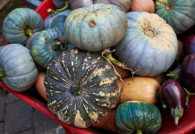 Wheel barrel squash, photo by Stephen Beaumont