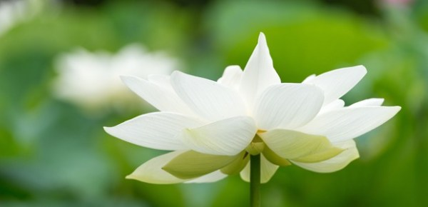 White lotus, photo by peaceful jp scenery