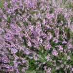 Heathland is bathed in pink and purple heathers