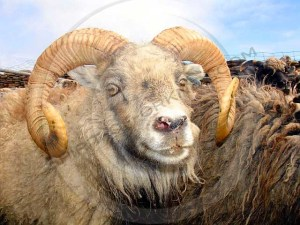 North Ronaldsay Sheep Close up