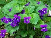 viola and leaves