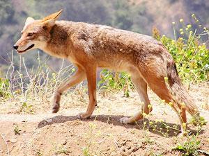 Image of: Tattoo Spirit Animals Coyote Spirit Animal Totem Meaning