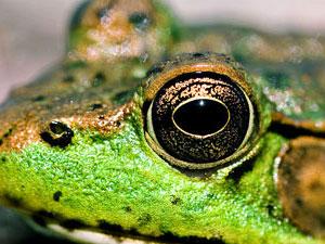frog totem