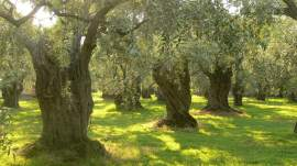 The Two Olive Trees