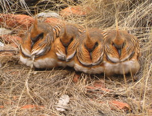 Spinifex Pigeons Kings Canyon Tour