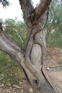 Burke & Wills Tree