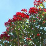 Poinsettia bushes 8' tall