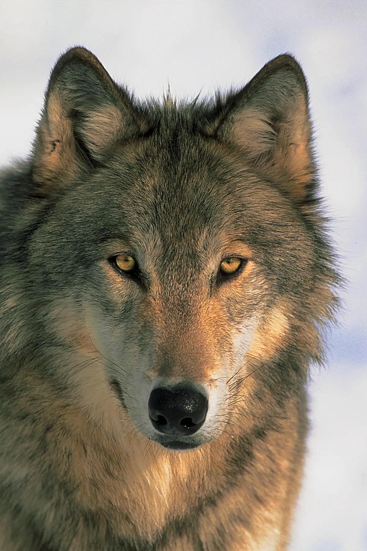 Wolf-Watching in Yellowstone National Park - Spiritual Travels