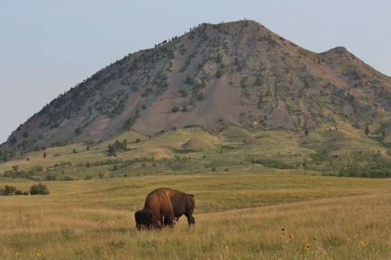 Bear Butte with bison in front