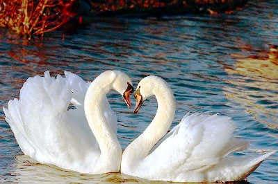 Schwäne sind Dualseelen die Liebe fürs Leben Spirituelle Gemeinschaft