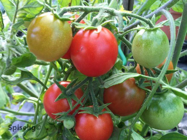 Tomatplanter med frukt