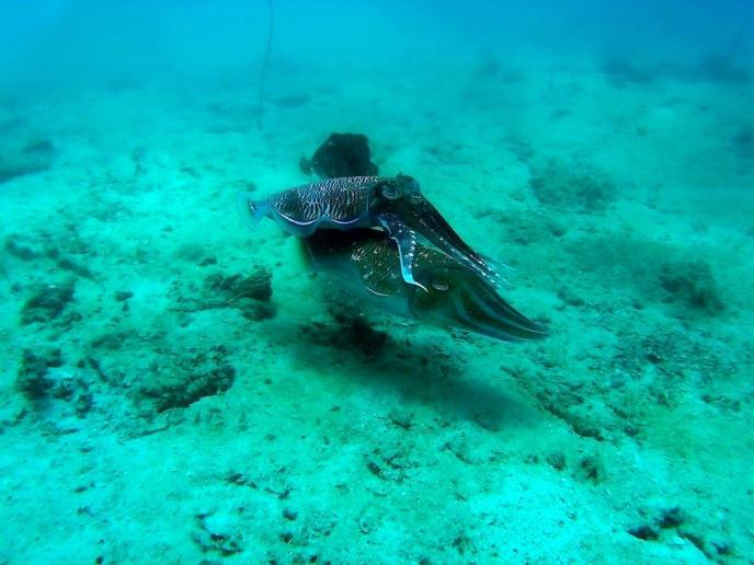 Cuttlefish during a scuba dive on Phi Phi Islands