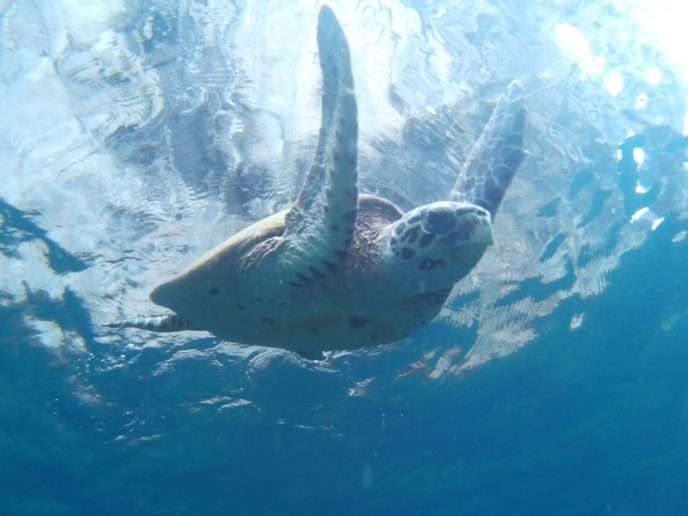 Many turtles around Phi Phi Islands