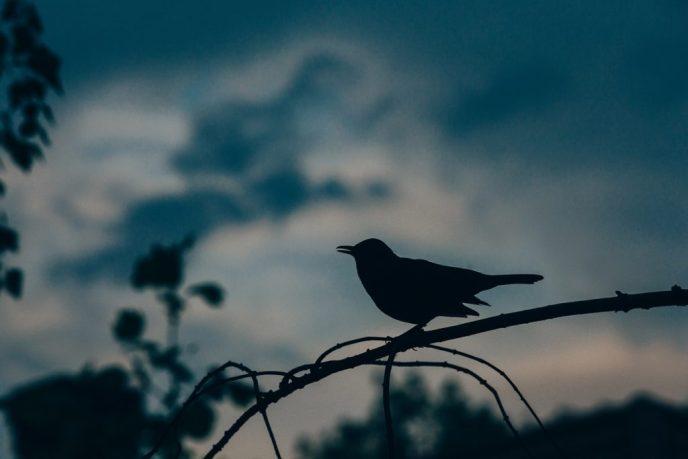 foto van een zingend vogeltje bij zonsopgang