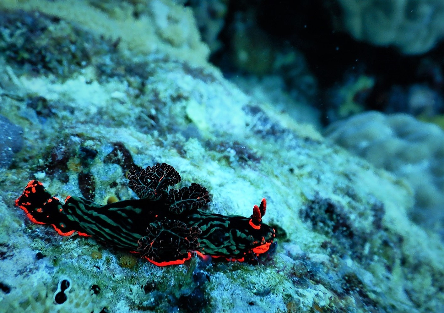 Apo Island is full of nudibranch
