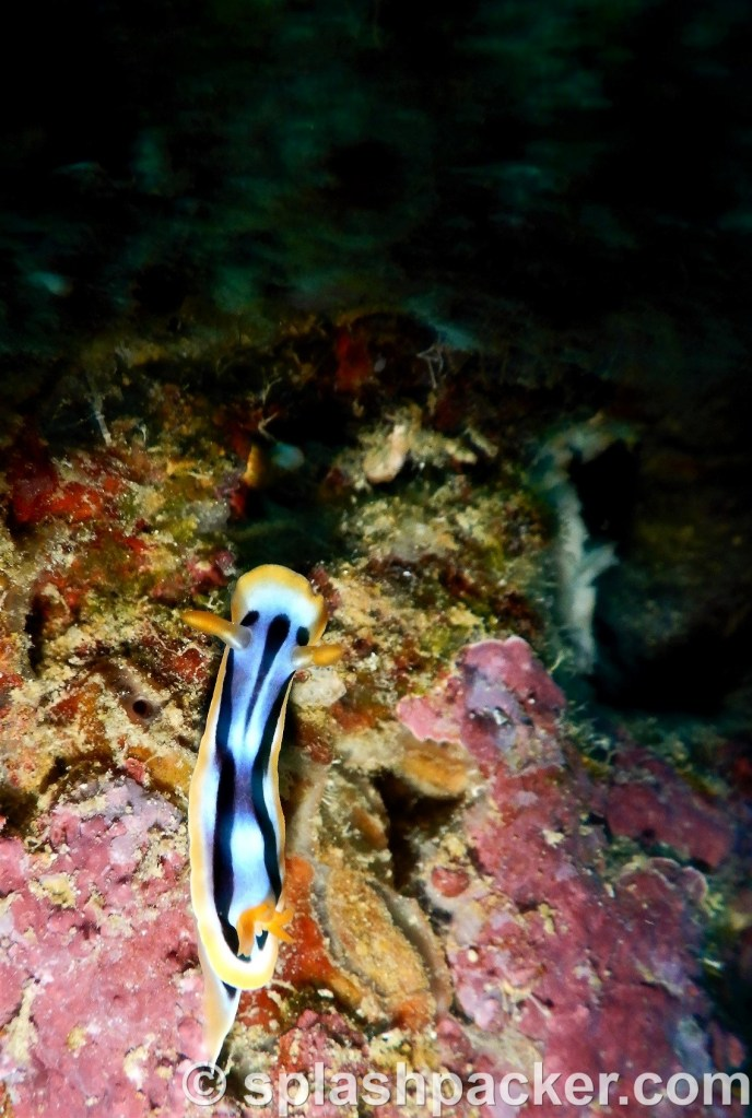 Nudibranch macro photography during night dive