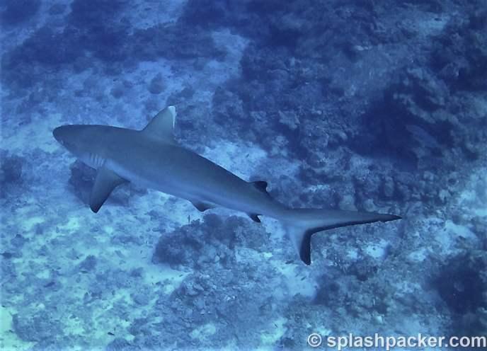 white tip shark scuba diving Veligandu in the Maldives