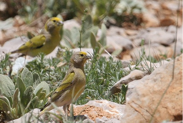 The Syrian Serin or Serinus Syriacus bird (النّعار السوري) is considered globally threatened and is currently classified as Vulnerable (VU) by Birdlife International (2011).