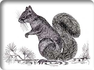 persiansquirrel2