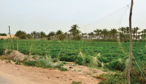 There are an estimated 700 km of mistnets erected along Egypt's northern coast (Watter Al Bahry)