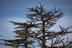 A dead cedar, right, next to a healthy one in the Tannourine forest.