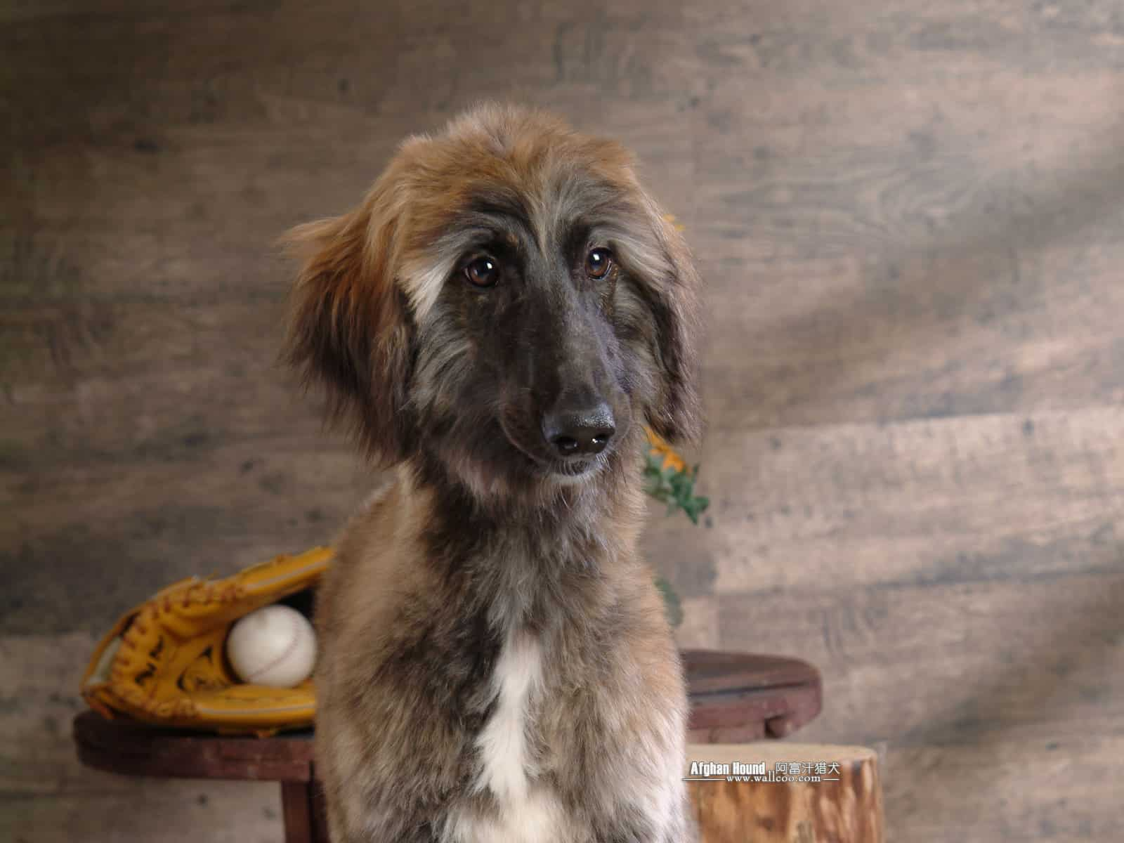 Afghan Hound Breed Info And Care