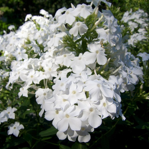 Phlox Paniculata by Shihmei Barger
