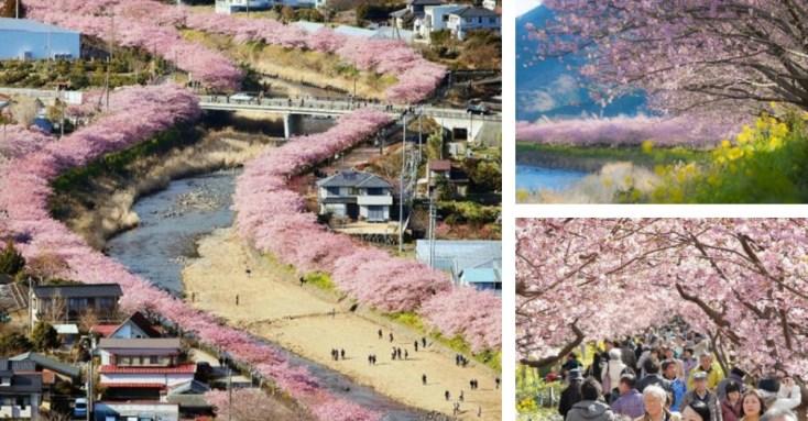Image result for kawazu sakura